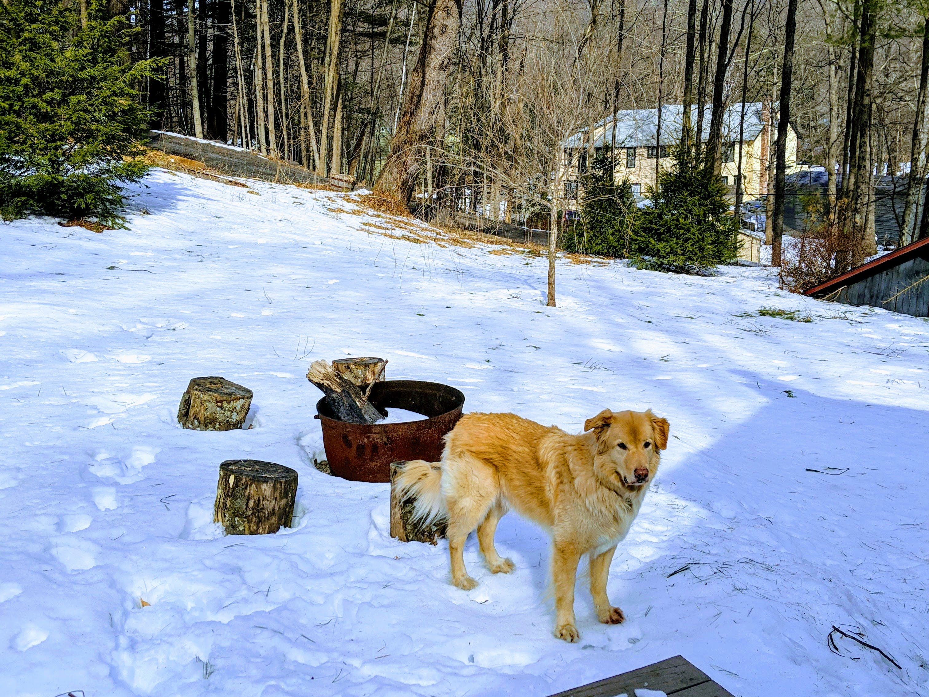 Finn the dog, contemplating the meaning of snow in the Catskills.